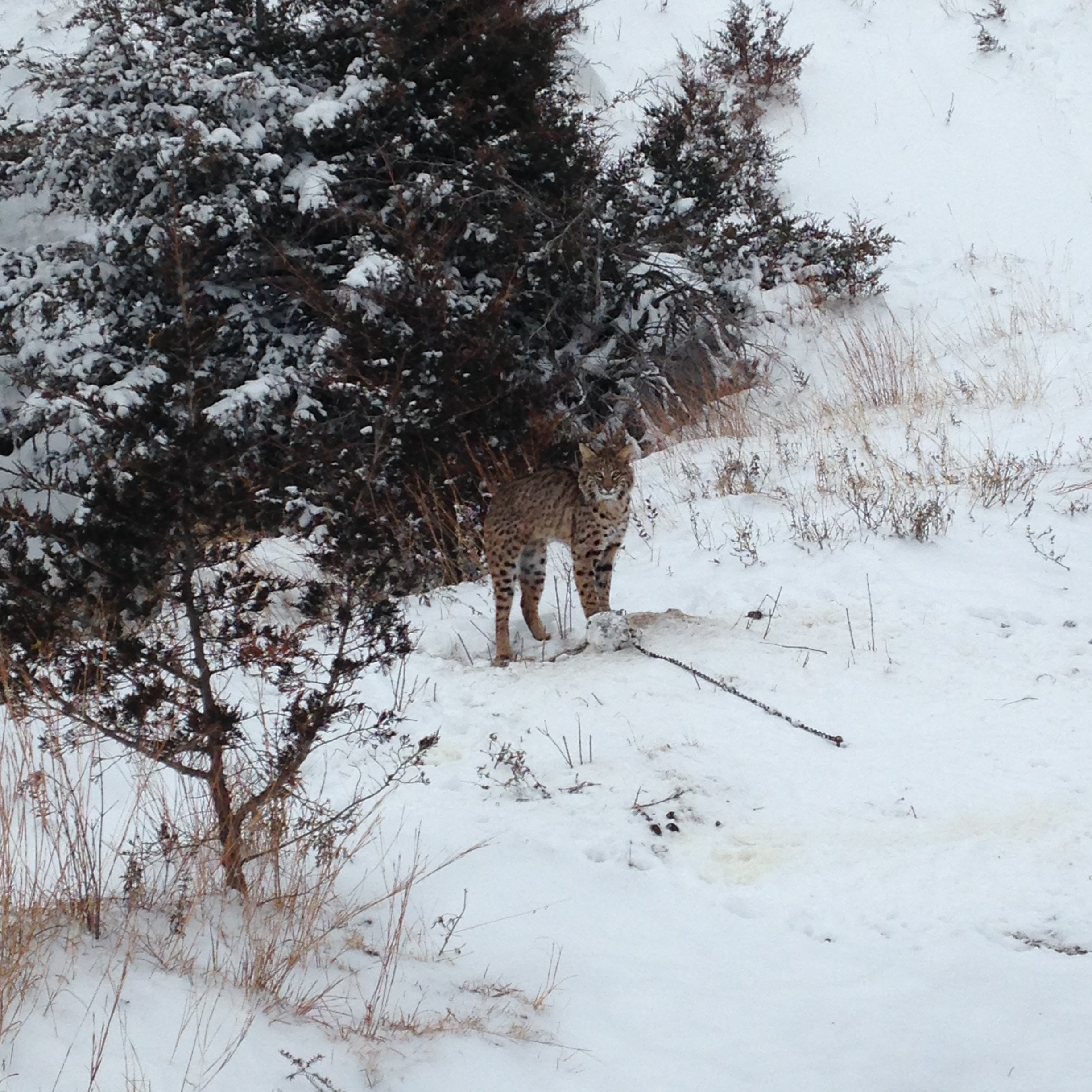 Valley County Spotted Bobcat