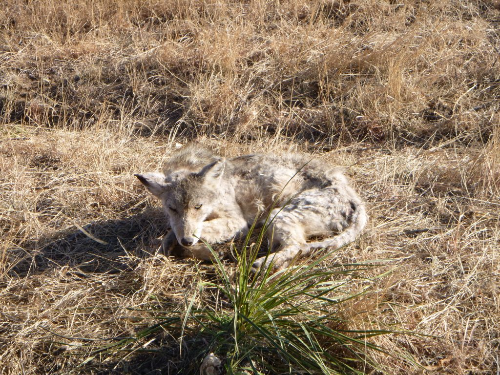 Mangy Coyote - this is what happens without trapping!